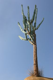Free Tall Cactus Stock Images - 3243044