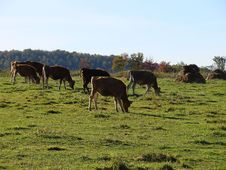 Free Cows Grazing Stock Photos - 3243123