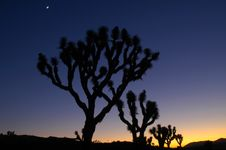 Free Joshua Trees At Dusk With Moon Stock Photos - 3243173