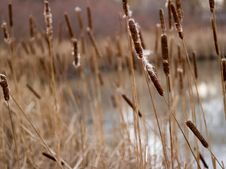 Free Fall Reeds Royalty Free Stock Photography - 3243507