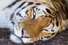 Free Bengal Tiger Stock Image - 3243581