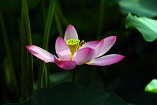 Free Lotus Flower Stock Photography - 3245552
