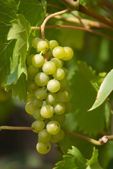 Free Bunch Of Grapes Royalty Free Stock Photos - 3245698