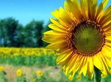 Free Flower Of Sun Royalty Free Stock Photos - 3246018