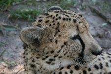 Free Cheetah Royalty Free Stock Photography - 3246027