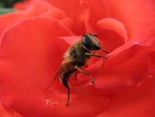 Bee And Rose Royalty Free Stock Photography
