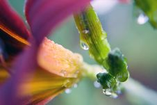 Free Day Lily And Stem/Macro/Drops Royalty Free Stock Images - 3246439