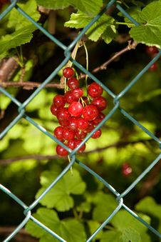 Free Red Currant Royalty Free Stock Image - 3246496