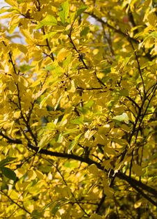 Free Plum Tree Royalty Free Stock Image - 3246526