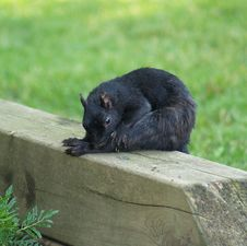 Free Black Squirrel Chewing Stock Photos - 3247133