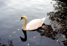 Free White Swan Royalty Free Stock Images - 3247369