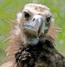 Eurasian Black Vulture 6 Royalty Free Stock Image