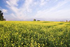 Free Stunning Rape Field And Blue S Royalty Free Stock Photography - 3247757