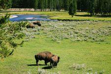 Free Buffalos At Yellow Stone Stock Image - 3248151
