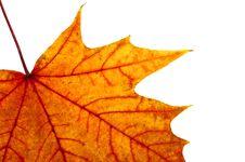 Autumn Maple Leave Stock Photo