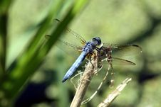Free Blue Dragon Fly Royalty Free Stock Photography - 3249147