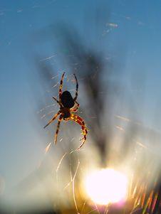 Free European Garden Spider Royalty Free Stock Photo - 3249475