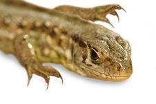 Free Wild Lizard Stock Image - 3249531