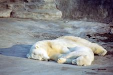 Free Polar Bear Cub Royalty Free Stock Photography - 3249577