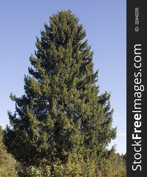 Fur-tree-beauty