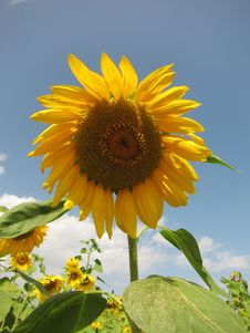 Free Sunflower And Sky Stock Photo - 32405600