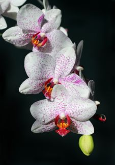 Free White Orchids With Burgundy Spots Stock Images - 32406594