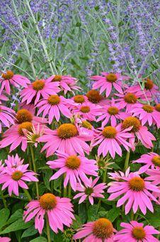 Pink Echinacia Flowers Stock Photos