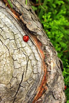 Free Ladybug In The Wood Stock Images - 32412974