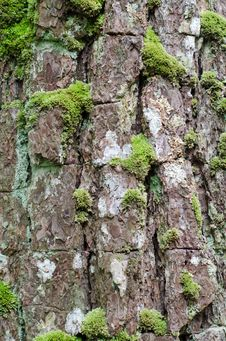 Free Moss Growing On Tree Royalty Free Stock Images - 32413869