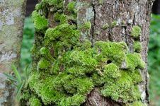 Free Moss Growing On Tree Royalty Free Stock Image - 32413936