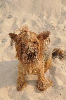 Cute Yorkshire Terrier Portrait Stock Images