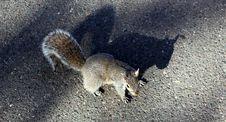 Free Grey Squirrel Stock Image - 32420331