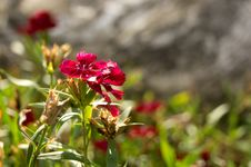 Free Red Flower Under Shine Stock Photo - 32420600