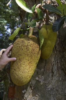 Free The Fruits Of Jackfruit. Royalty Free Stock Images - 32420999