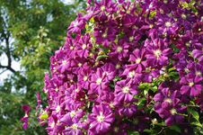 Free Huge Purple Clematis Stock Image - 32424211