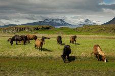 Free Icelandic Horses Stock Images - 32425174