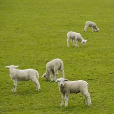 Free Five Little Lambs Royalty Free Stock Photo - 32427145