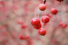 Red Cherries Stock Photography