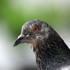 Free Pigeon Royalty Free Stock Image - 32429306