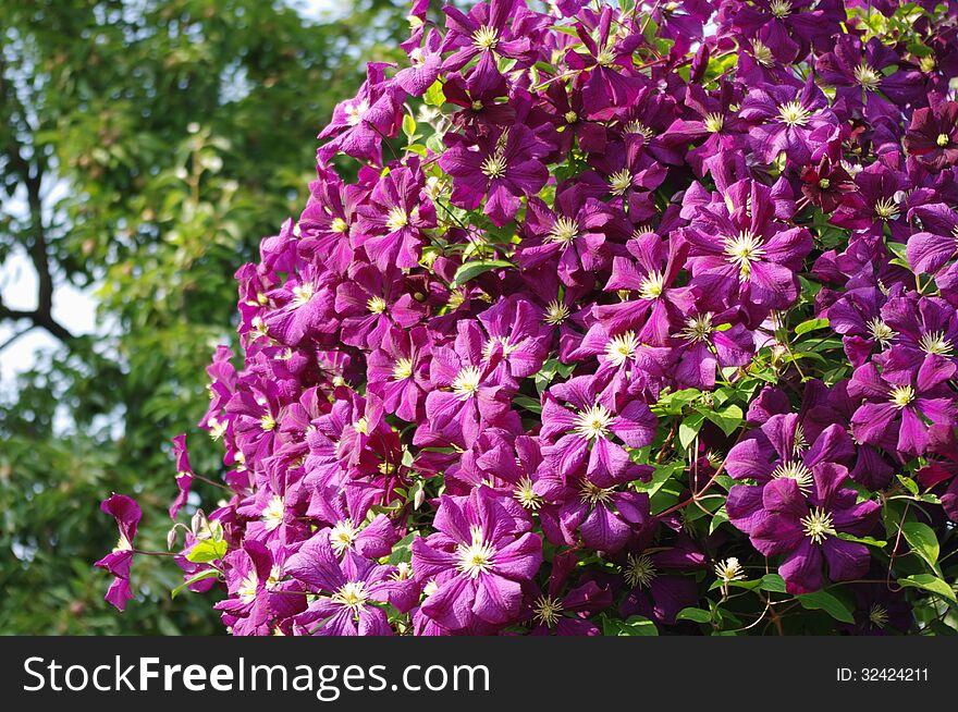 Huge purple Clematis