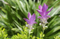 Free Close Up Of Siam Tulip &x28;Curcuma Alismatifolia&x29; Is A Tropical Pla Stock Photos - 32430603