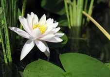 Free White Lotus Stock Images - 32430514