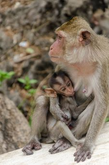 Free Baby Monkey Eating Milk From Mom Stock Images - 32431254