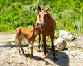 Free Young Foal And Mare At Meadow Royalty Free Stock Images - 32454229