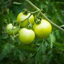 Branch Of New Crop Green Tomatoes Royalty Free Stock Image
