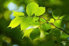 Free Fresh Leaves Royalty Free Stock Image - 32455166