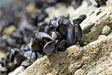 Free Mussles Stock Image - 32463941