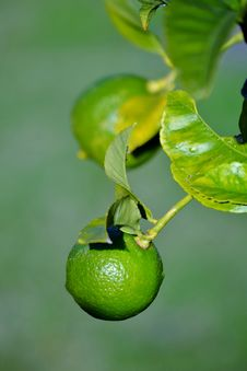 Free Lime Stock Photos - 32464823