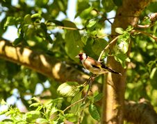 Goldfinch Royalty Free Stock Photo