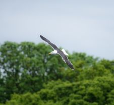 Free Lesser Black Backed Gull In Flight Stock Images - 32469854